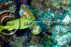 French Grunt, Haemulon flavolineatum, Grand Cayman (Steven Smeltzer)