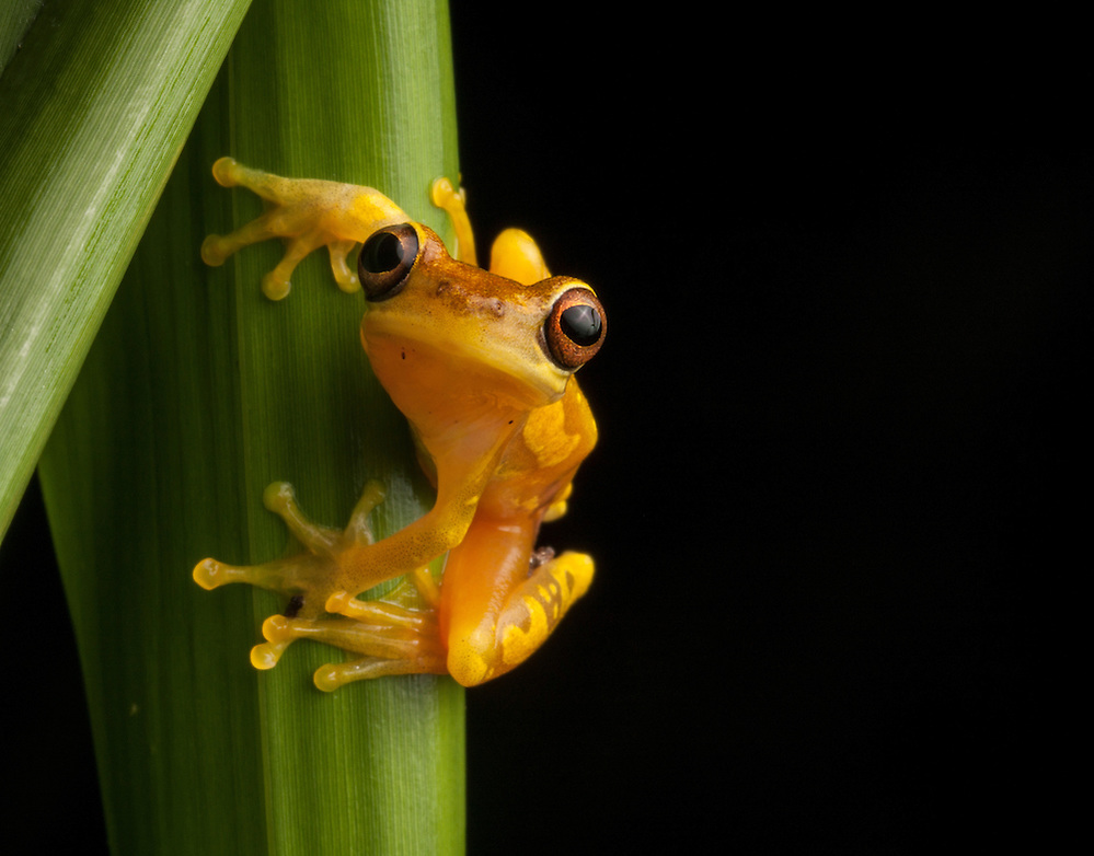 An Hourglass Frog, Dendropsophus ebraccatus,  on a blade of grass in the Osa Peninsula. (Robin Moore)