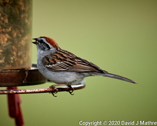 Chipping Sparrow. Image taken with a Nikon D5 camera and 600 mm f/4 VR lens (ISO 450, 600 mm, f/5.6, 1/1250 sec) (DAVID J MATHRE)