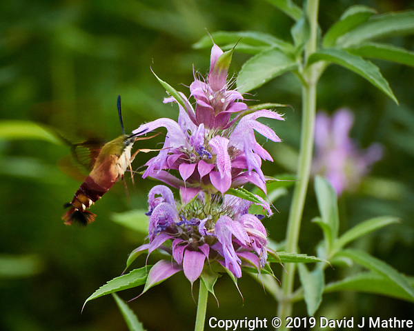 Hummingbird Clearwing moth feeding on a Bee Balm flower. Image taken with a Nikon 1 V3 camera and 70-300 mm VR lens (ISO 800, 300 mm, f/5.6, 1/160 sec) (DAVID J MATHRE)