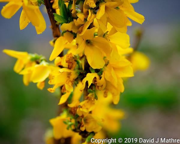 Forsythia Flowers. Image taken with a Fuji X-H1 camera and 80 mm f/2.8 macro lens (DAVID J MATHRE)