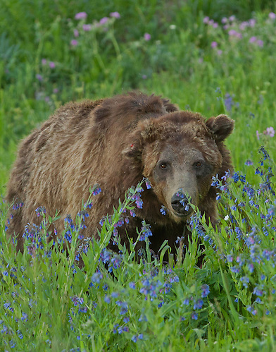 Grizzly 211 of Yellowstone, also known as Scarface, is over twenty years old. This famous old warrior has seen so many battles that his ears can no longer stand upright and he's terribly scarred on his right cheek. (Sandy Sisti)
