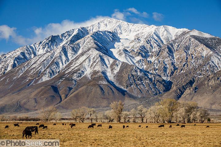 Cattle graze under snowy Sierra Nevada mountains, early spring 2021. Round Valley, near Bishop, California, USA. (© Tom Dempsey / PhotoSeek.com)