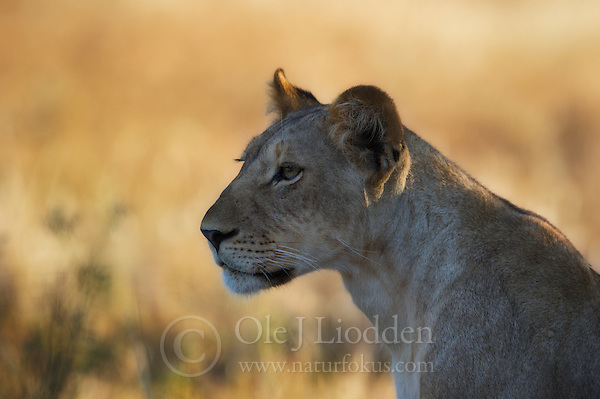 Lion in Samburu, Kenya (Ole Jørgen Liodden)