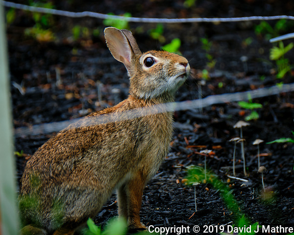 Bunny Rabbit Behind the Electric Fence. Image taken with a Fuji X-T2 camera and 100-400 mm OIS lens (David J Mathre)