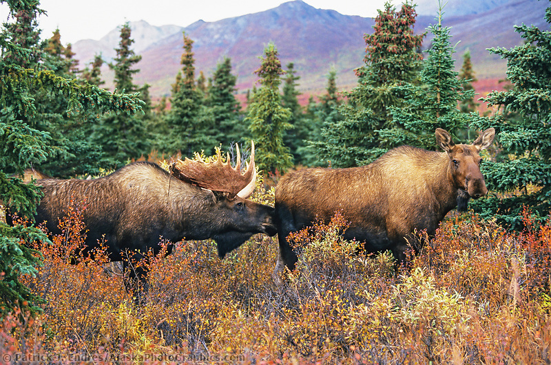 Mose photos: Bull Moose scents for cow's readiness to mate during the rut, Denali National Park, Alaska (Patrick J. Endres / AlaskaPhotoGraphics.com)