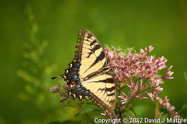Tiger Swallowtail Butterfly on a Joe Pye Weed Bloom at the Sourland Mountain Preserve. Image taken with a Nikon D800 and 300 mm f/2.8 VR lens (ISO 100, 300 mm, f/5.6, 1/2500 sec). (David J Mathre)