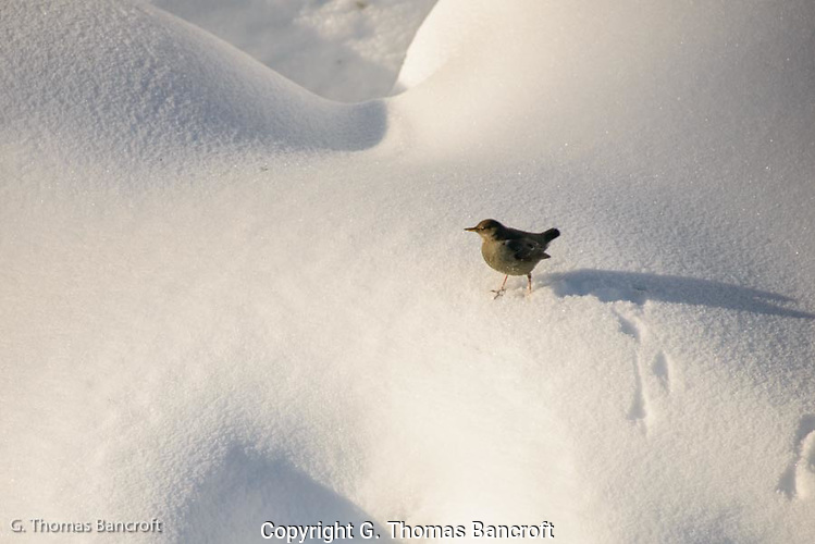 American Diver, or Water Ouzel, walks through the snow above Bagley Creek. (G. Thomas Bancroft)