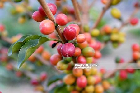 Coffe beans ready to harvest near Ta'izz, Yemen. (Dmitry Chulov)