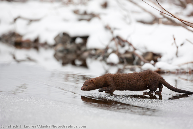 Mink travels the thin icy surface of a stream during freeze up in Alaska's interior. (Patrick J. Endres / AlaskaPhotoGraphics.com)