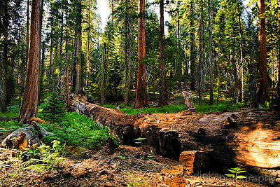 A fallen Giant Sequoia tree lies in the middle of Circle Meadow in the Giant Forest Sequoia Grove. Green ferns dot the landscape in the late afternoon sun. Sequoia National Park, California. (Sean Scanlon)