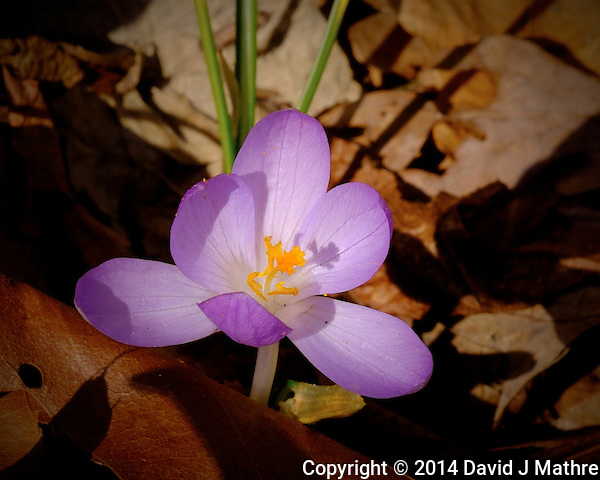 Spring Purple Crocus Flower in New Jersey. This is almost a month later that the Crocuses bloomed for the last several years. Image taken with a Fuji X-T1 camera and Fuji 60 mm f/2.4 macro lens (ISO 250, 60 mm, f/16, 1/160 sec). (David J Mathre)
