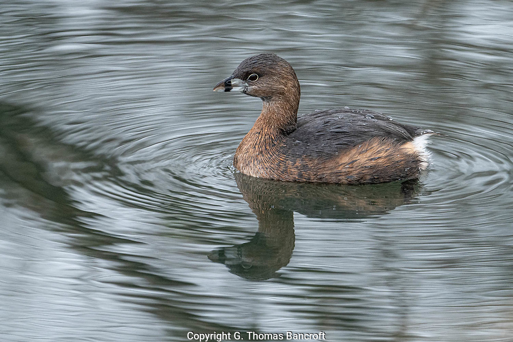 The Pied-billed Grebe sat motionless in the water after surfacing from a dive. They are permanent residents in the Puget Sound area of Washington. (G. Thomas Bancroft)