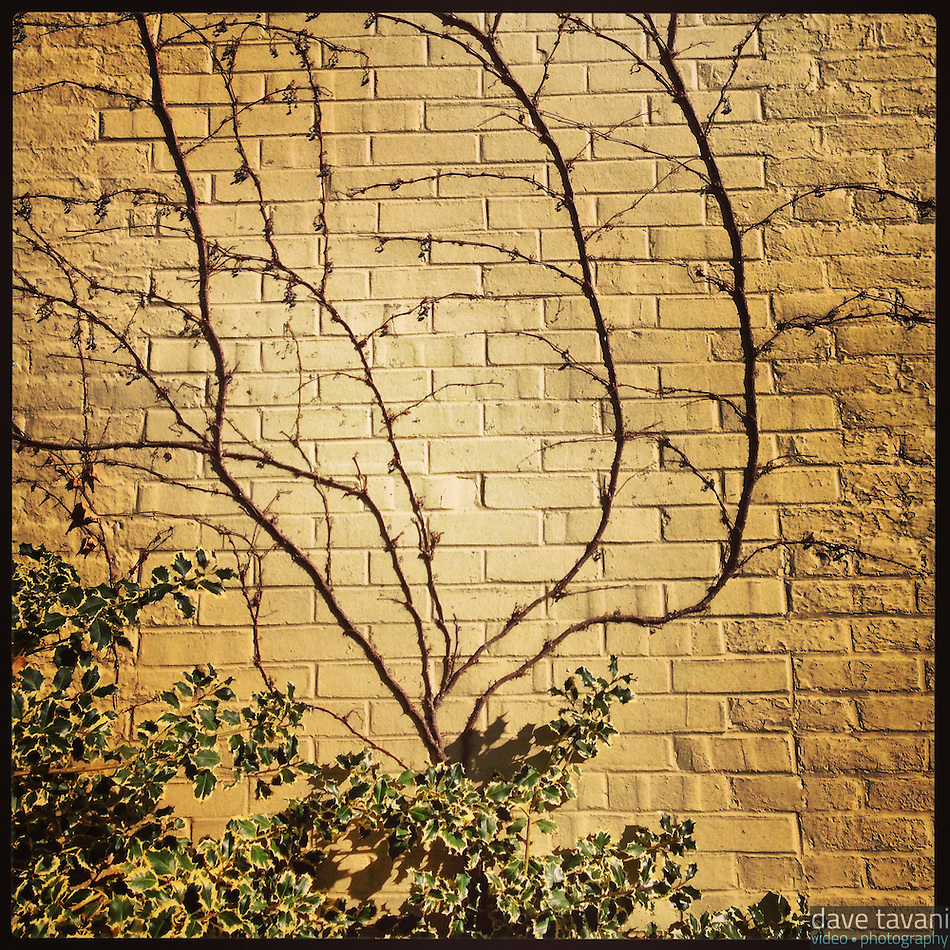 A vine grows up a brick wall on 21st Street in South Philadelphia on February 12, 2013. (Dave Tavani)