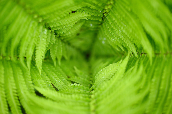 Ferns, Tangjiahe National Nature Reserve, NNR, Qingchuan County, Sichuan province, China (Staffan Widstrand)
