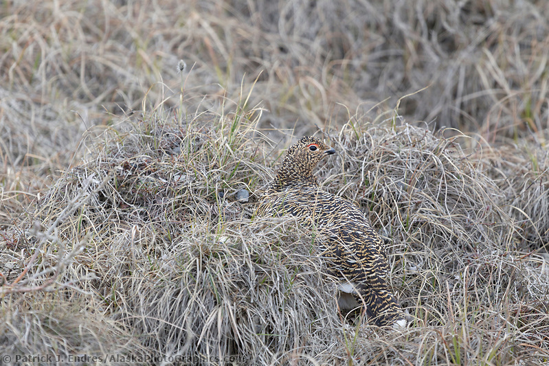 Female willow ptarmigan camouflaged in the brown summer tundra of Alaska's arctic north slope. (Patrick J. Endres / AlaskaPhotoGraphics.com)