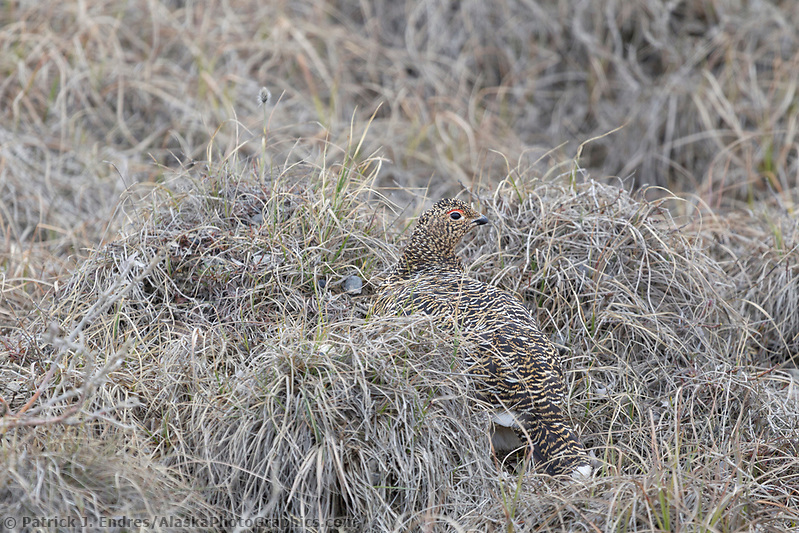 ptarmigan photos: Female willow ptarmigan camouflaged in the brown summer tundra of Alaska's arctic north slope. (Patrick J. Endres / AlaskaPhotoGraphics.com)