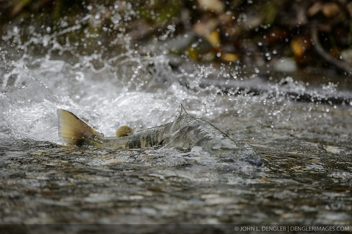 A chum salmon (Oncorhynchus keta) powers its way up the special spawning channel of Herman Creek to spawn during the fall chum salmon run. The nonprofit Northern Southeast Regional Aquaculture Association, Inc. (NSRAA) built the channel to collect wild broodstock by harvesting spawning female and male salmon for their eggs and milt. The chum salmon is returning to freshwater Herman Creek near Haines, Alaska after three to five years in the saltwater ocean. Spawning only once, chum salmon die approximately two weeks after they spawn. Both sexes of adult chum salmon change colors and appearance upon returning to freshwater. Unlike male sockeye salmon which turn bright red for spawning, male chum salmon change color to an olive green with purple and green vertical stripes. These vertical stripes are not as noticeable in females, who also have a dark horizontal band. Both male and female chum salmon develop hooked snout (type) and large canine teeth. These features in female salmon are less pronounced. Herman Creek is a tributary of the Klehini River and is only 10 miles downstream of the area currently being explored as a potential site of a copper and zinc mine. The exploration is being conducted by Constantine Metal Resources Ltd. of Vancouver, British Columbia along with investment partner Dowa Metals & Mining Co., Ltd. of Japan. Some local residents and environmental groups are concerned that a mine might threaten the area's salmon. Of particular concern is copper and other heavy metals, found in mine waste, leaching into the Klehini River and the Chilkat River further downstream. Copper and heavy metals are toxic to salmon and bald eagles. Chilkat River and Klehini River chum salmon are the primary food source for one of the largest gatherings of bald eagles in the world. Each fall, bald eagles congregate in the Alaska Chilkat Bald Eagle Preserve, located only three miles downriver from the area of current exploration. (© John L. Dengler/Dengler Images)