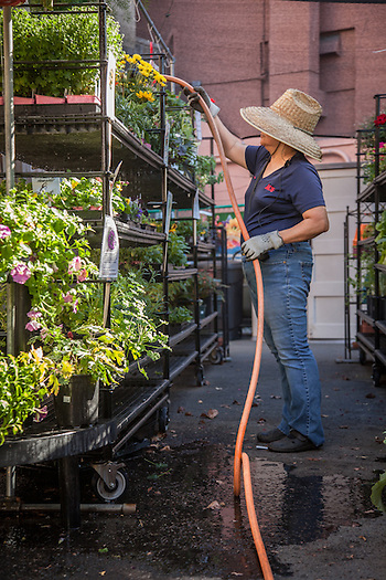 Maria waters the plants outside the Ace Hardware store on a 100 degree day in Calistoga. (Clark James Mishler)