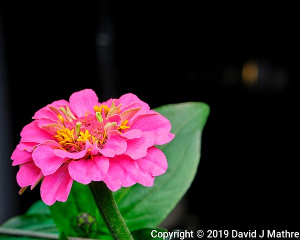 Pink Lilliput Zinnia Flower. AeroGarden Farm 04 Left. Fuji X-T3 camera and 80 mm f/2.8 OIS macro lens (ISO 320, 80 mm, f/11, 1/30 sec). (DAVID J MATHRE)