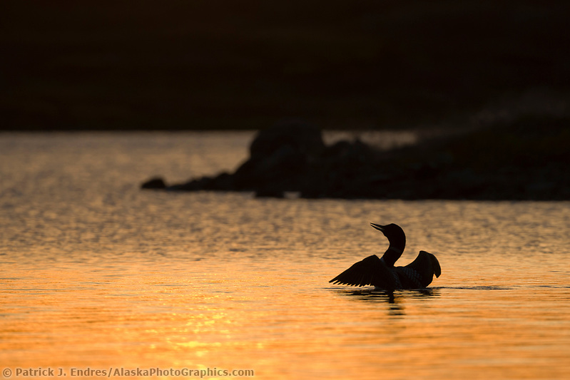 Yellow-billed loon swims in Toolik lake in Alaska's arctic. (Patrick J. Endres / AlaskaPhotoGraphics.com)