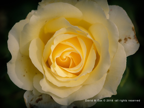 6.27.18 - The Yellow Rose... (© David M Sax 2018 - all rights reserved)