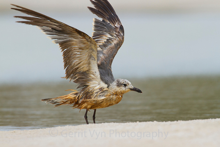 Heavily oiled immature Laughing Gull (Larus atricilla). Baldwin County, Alabama. June. (Gerrit Vyn)