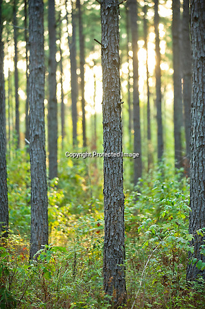 A forest of pine trees in Arkansas (Beth Hall)