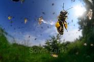 Honey bee (Apis mellifera), Kiel, Germany | Die Honigbiene (Apis mellifera) kehrt zurück vom Sammelflug und steuert gerade auf das Flugloch zu. Bei einem Sammelflug kann sie bis zu 15 Milligramm Pollen und bis zu 35 Milligramm Nektar (ein Drittel bis fast die Hälfte ihres Körpergewichtes) mit zum Bienenvolk zurückbringen. Kiel, Deutschland (Solvin Zankl)
