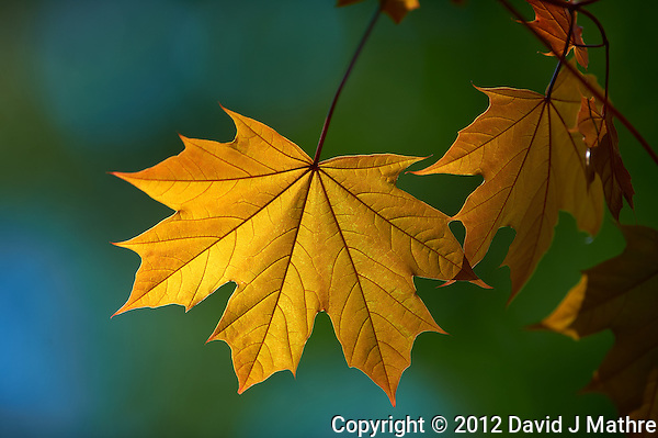 Backlit Maple Leaf. Backyard Spring Nature in New Jersey. Image taken with a Nikon D3s and 300 mm f/2.8 lens (ISO 200, 300 mm, f/2.8, 1/2000 sec). (David J Mathre)