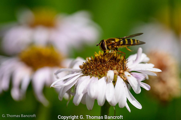 Syrphid Fly looks for pollen and nectar in an aster. (G. Thomas Bancroft)