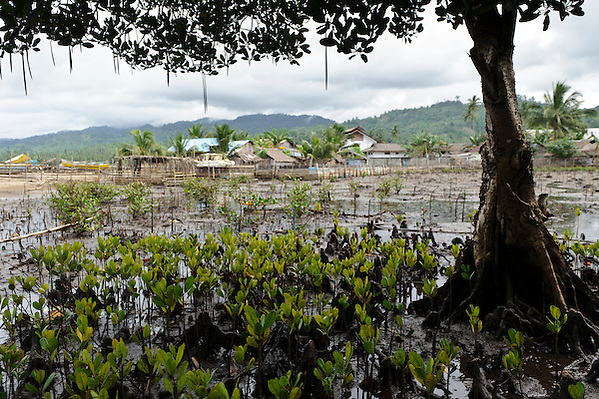 Mangroves at Dudepo, Bolmong Selatan, Sulawesi, Indonesia. (Matthew Oldfield)