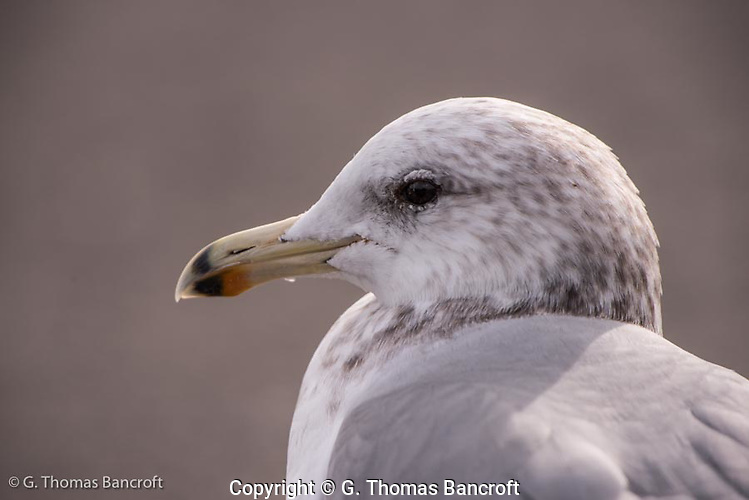 A head shot of a glaucous-winged gull. (G. Thomas Bancroft)