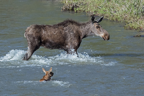 With the shore in sight, the moose cow moves forward, while keeping an eye on her tiny calf. (Sandy Sisti)