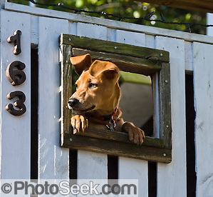 A dog peers through a window in a white fence at Harpers Ferry, West Virginia, USA.