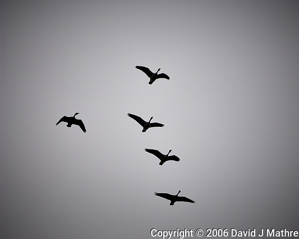 Canada Geese in Flight. Backyard Winter Nature in New Jersey. Image taken with a Nikon D2xs camera and 70-200 mm f/2.8 lens (ISO 400, 200 mm, f/2.8, 1/8000 sec). (David J Mathre)