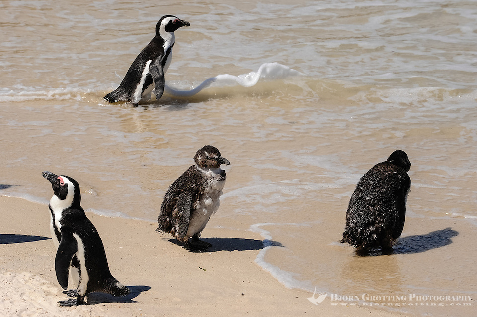 Boulders Beach near Cape Town in South Africa has a colony of African Penguins which settled there in 1982. A young chicken. (Photo Bjorn Grotting)