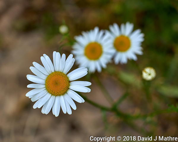 Daisy Like Wildflower. Image taken with a Leica CL camera and 60 mm f/2.8 lens (David J Mathre)