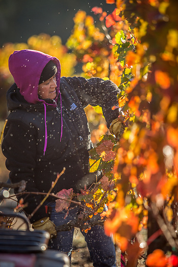 Frost is released into the early morning air as Ana Baltazar removes dead vines at Boeschen Vineyards near Saint Helena, CA anabbaltazar@gmail.com (© Clark James Mishler)