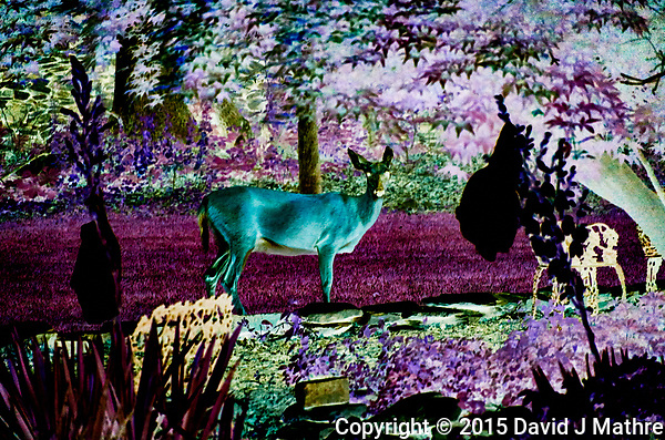 The Alien Deer Want My Yucca Flowers. I may have to stay up all night.  (David J Mathre)