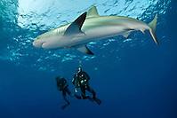 Karribisk revhaj, Charcharhinus perezi, betraktad av två dykare vid Jardines de la reina på Kuba. (Magnus Lundgren/Bildhuset Scanpix)