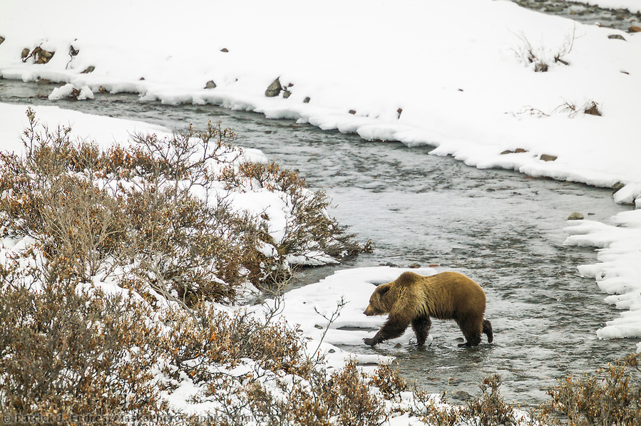 Grizzly bear photos: Grizzly bear walks across a open stream in the fresh winter snow in Atigun Canyon, Brooks Range, Alaska Ⓒ Patrick J. Endres / AlaskaPhotoGraphics.com