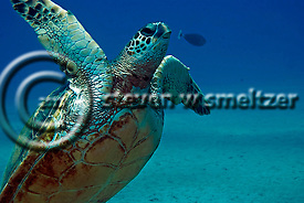 Green Sea Turtle, Chelonia mydas, Maui Hawaii (Steven Smeltzer)