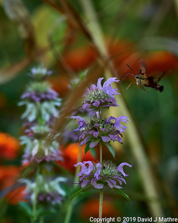 Hummingbird Clearwing moth attracted to a Lemon Mint flower. Image taken with a Nikon D5 camera and 80-400 mm VRII lens (ISO 1250, 400 mm, f/8, 1/800 sec). (DAVID J MATHRE)