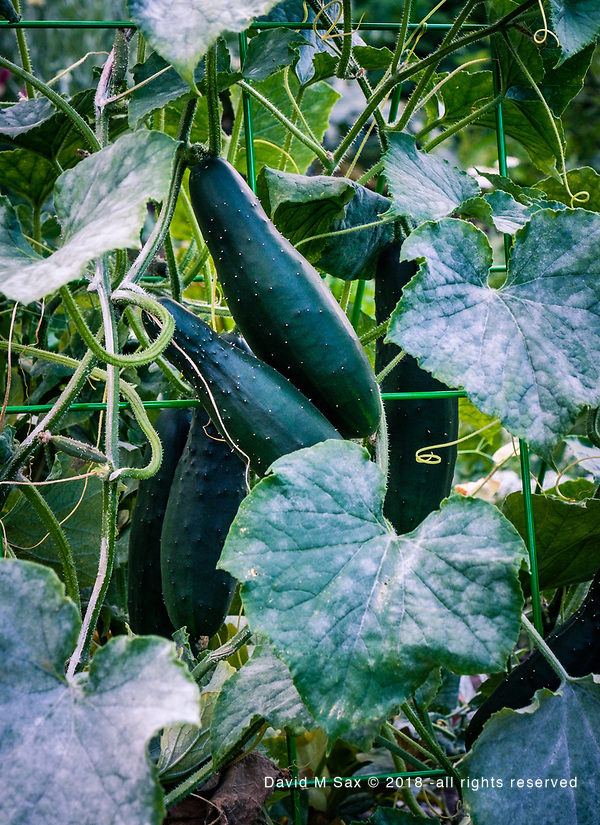 8.31.18 - Cukes..... (© David M Sax 2018 - all rights reserved)