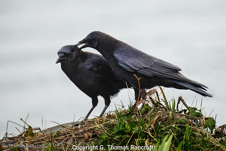 The crow walked up to its mate and began to preen indivudual feathers.  Thie allopreening is important in building pair bond between the mates. (G. Thomas Bancroft)