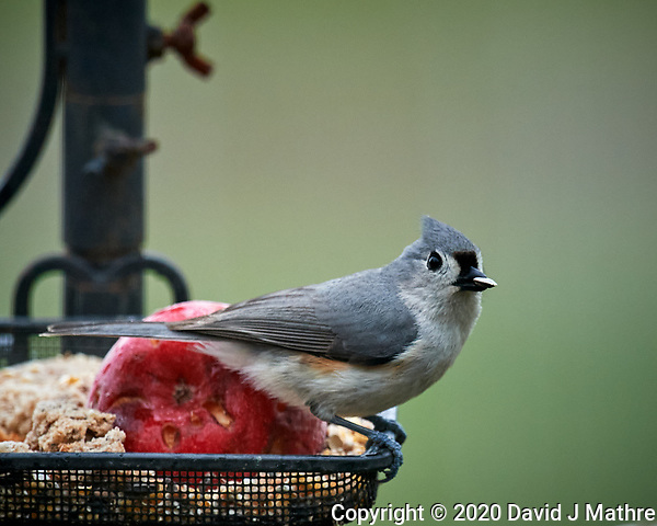 Tufted Titmouse at a birdfeeder. Image taken with a Nikon D5 camera and 600 mm f/4 VR lens (ISO 1600, 600 mm, f/5.6, 1/250 sec). (DAVID J MATHRE)