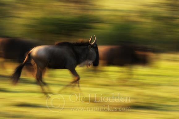 Wilderbeest (Connochaetes taurinus) (Ole Jørgen Liodden)