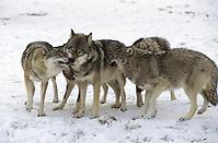 Wolf, im Winter im Schnee, Canis lupus, gray wolf (Frank Hecker)
