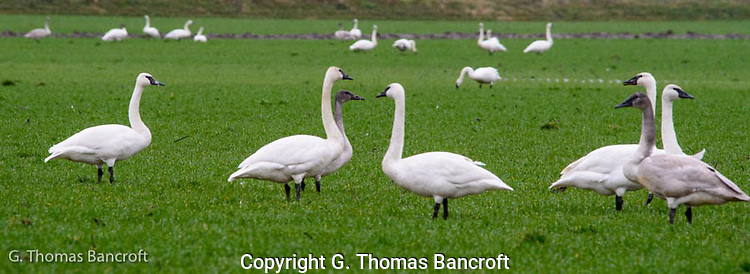 A group of Trumpeter Swans stand at alert in a grazing field to look for danger (G. Thomas Bancroft)